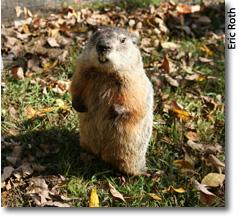 Drumlin Farm's resident groundhog, Ms. G.