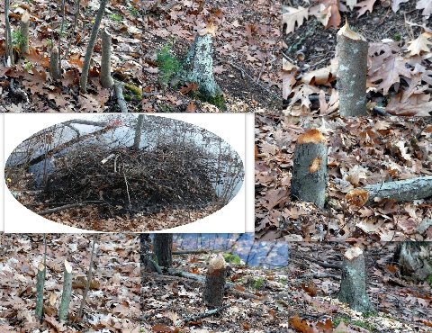 Beavers take many trees along the pond trail near Pincushion Island - for food and construction of a new lodge...