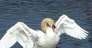 Swan Struts