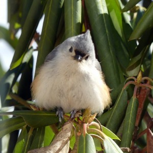 Tufted Titmouse 01
