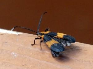 orange-bug