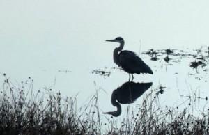 reflective heron