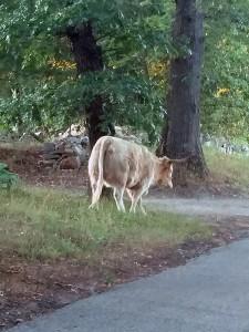 wild-cow