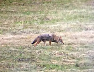 wild-coyote-joshua